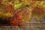Rainer Kempf_Herbstliche Lampionblume (Physalis alkekengi)