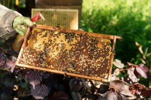 Brutwabe,Biene schlüft