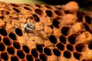 Hoigbienen schlüpfchen