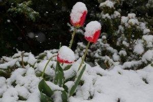 Schneetulpen-1-von-1