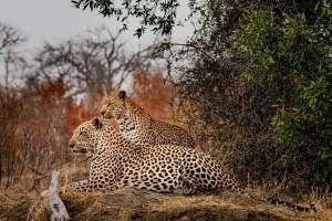Albert-KöckemannLeopardenpaarSüdafrika-Krüger-NP