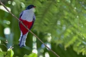 Manfred-SassEl-Tocororo-Kubas-Nationalvogel