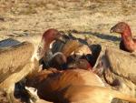 Gosbert Endres - Großes Fressen, Weißrückengeier an Impala