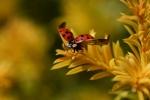 Rainer Kempf - Flieg Käfer flieg, asiatischer Marienkäfer (Harmonia axyridis)