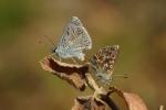 Rainer Kempf - Silbergrüner Bläuling (Polyommatus coridon)