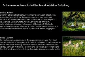 Schwäne-099