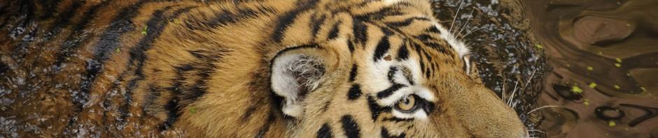 Schwimmender Tiger